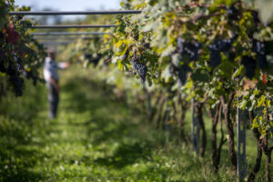 Neretto vineyard