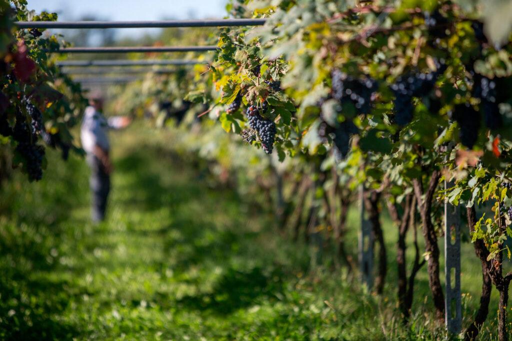Il vitigno Neretto